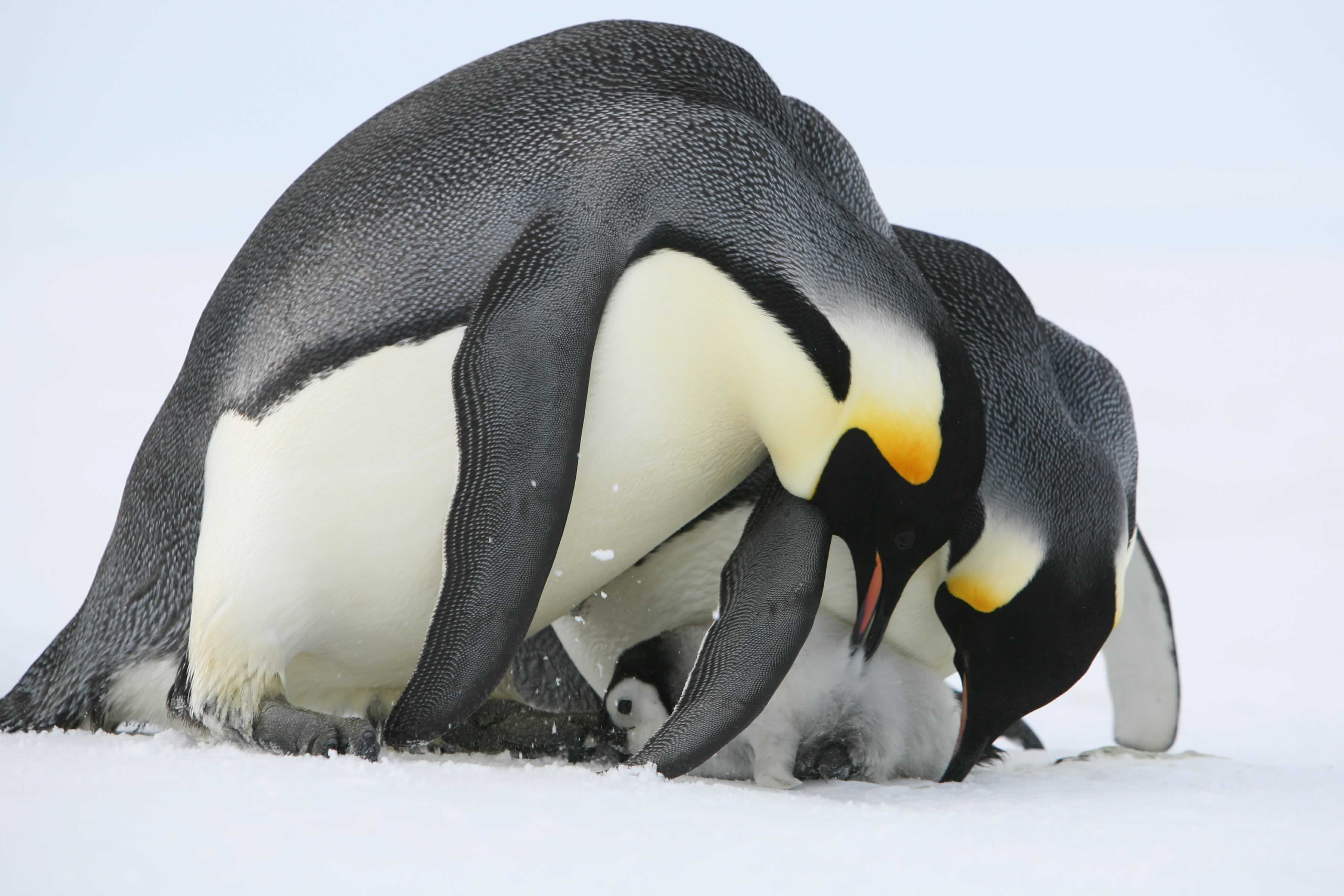 Emperor penguins at colony. Photo: Gary Miller.